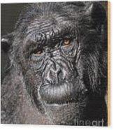 Chimpanzee Portrait Wood Print