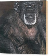 Chimpanzee Portrait Endangered Species Wildlife Rescue Wood Print