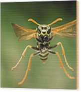 Chinese Paper Wasp Wood Print