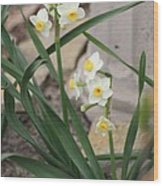 Chinese Sacred Lily Wood Print