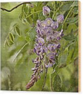 Chinese Wisteria Wood Print