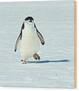 Chinstrap Penguin Running Wood Print