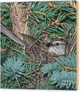 Chipping Sparrow On Nest Wood Print