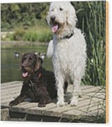 Chocolate And Cream Labradoodles Wood Print