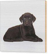 Chocolate Labrador Dog Wood Print