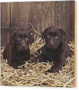 Chocolate Labrador Puppies Wood Print