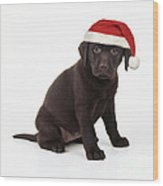 Chocolate Labrador Puppy, 6 Weeks Old Wood Print