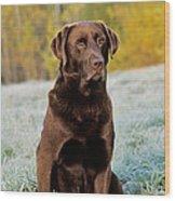 Chocolate Labrador Retriever Wood Print