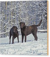 Chocolate Labrador Retrievers Wood Print