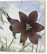 Chocolate Liliy Wood Print