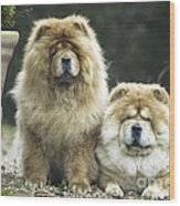 Chow Chow Dogs Wood Print