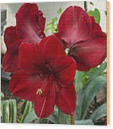 Christmas Red Amaryllis Flowers Wood Print