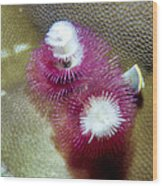 Christmas Tree Worms 2 Wood Print