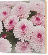 Chrysantemum Pink Wood Print