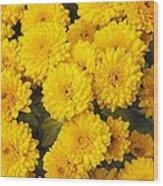 Chrysanthemum 'branhalo' Wood Print