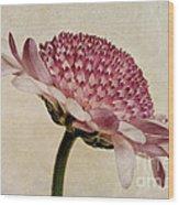 Chrysanthemum Domino Pink Wood Print