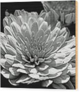 Chrysanthemum In Light And Shadow Wood Print