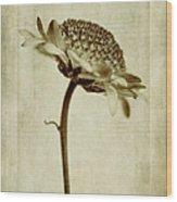 Chrysanthemum In Sepia Wood Print