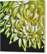 Chrysanthemum Wood Print