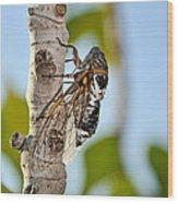 Cicada On Fig Tree Wood Print