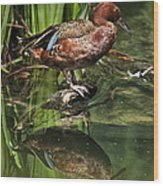 Cinnamon Teal Duck With Reflection Wood Print