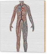 Circulatory System In Male Anatomy Wood Print