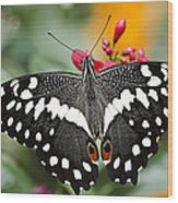 Citrus Swallowtail Butterfly  Wood Print