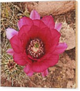 Claret Cup Cactus On Red Rock In Sedona Wood Print