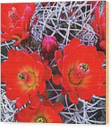 Claretcup Cactus Blooms Wood Print