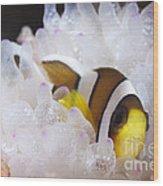 Clarks Anemonefish In White Anemone Wood Print