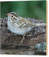 Clay-colored Sparrow Spizella Pallida Wood Print