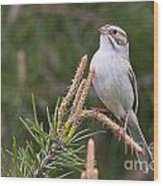 Clay-coloured Sparrow Pictures 35 Wood Print