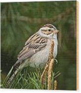 Clay-coloured Sparrow Pictures 50 Wood Print