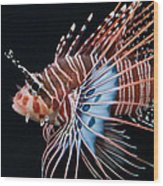 Clearfin Lionfish Wood Print