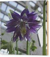 Clematis Flowered Columbine Wood Print