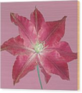 Clematis In Gentle Shades Of Red And Pink. Wood Print
