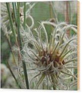 Clematis Seed Wood Print