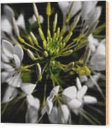 Cleome In Bloom Wood Print