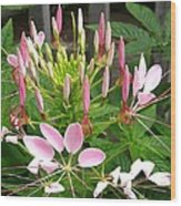 Cleome Named Cherry Queen Wood Print
