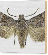 Cleonymia Yvanii Moth Wood Print