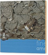 Cliff Swallows At Nests Wood Print