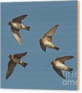 Cliff Swallows Flying Wood Print