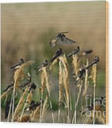 Cliff Swallows Perched On Grasses Wood Print