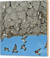 Cliff Swallows Returning To Nests Wood Print