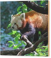 Climbing Red Panda Bear Wood Print