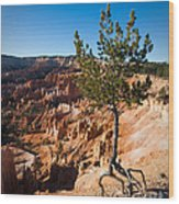 Clinging To The Edge Bryce Canyon Wood Print
