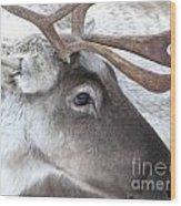 Close-up Caribou Reindeer Wood Print