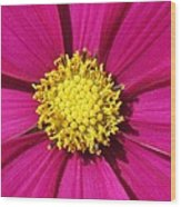 Close Up Of A Cosmos Flower Wood Print