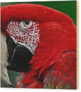 Close Up Of A Gorgeous  Green Winged Macaw Parrot. Wood Print