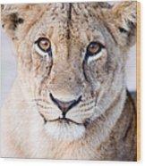 Close-up Of A Lioness Panthera Leo Wood Print